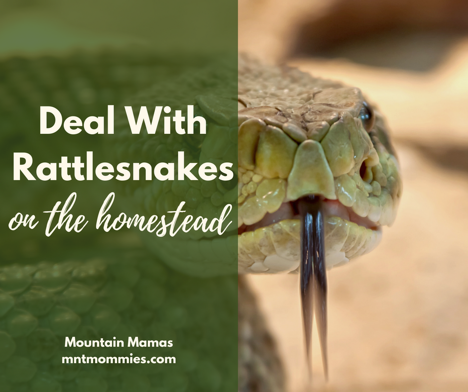 Rattlesnakes on the homestead | Mountain Mamas' | mntmommies.com