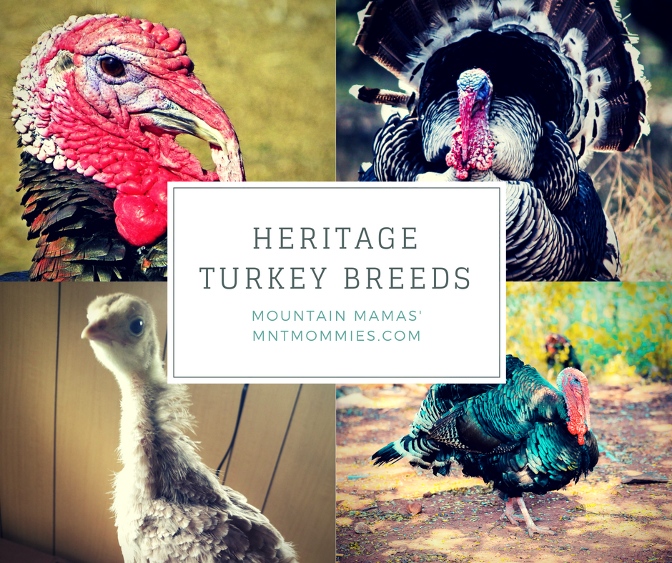 Heritage Turkey Breeds | Mountain Mamas' | mntmommies.com | #homestead