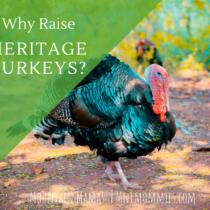 Why you should be raising heritage turkeys. } Mountain Mamas' | mntmommies.com| #homestead #homesteading #farm #garden