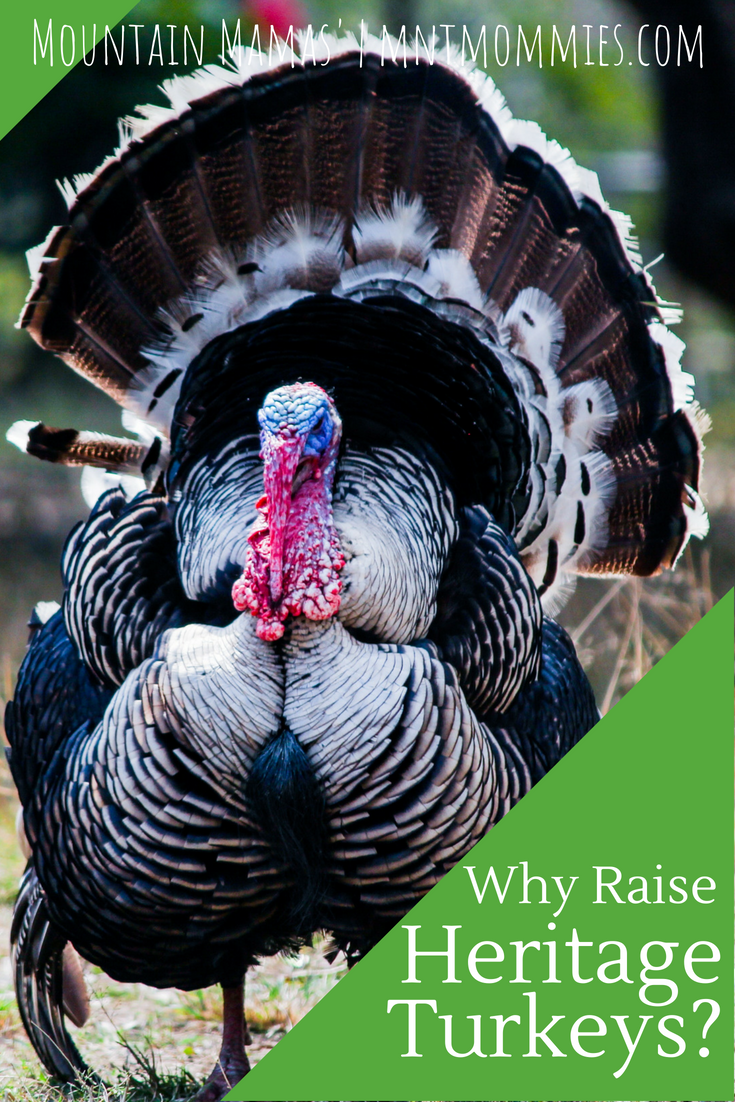 Why you should be raising heritage turkeys. } Mountain Mamas' | mntmommies.com| #homestead #homesteading #farm #garden